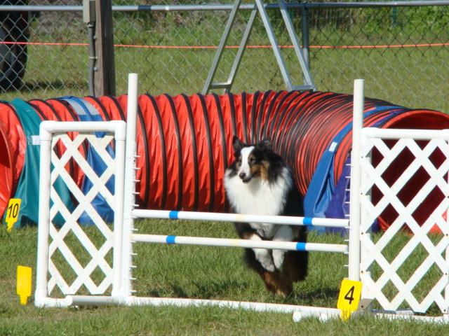 Dingo agility